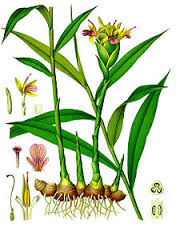 Botanic painting of a ginger plant, which is a rhizome