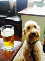 This is a photo of Millie, a regular dog visitor to Wath Tap, with a pint of beer