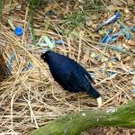 A lovely dark blue Satin Bowerbird